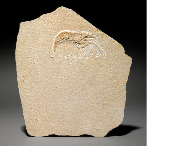 Fossil shrimp (Aeger) 14 in.
