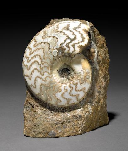 Scunthrope ammonite 6 in.