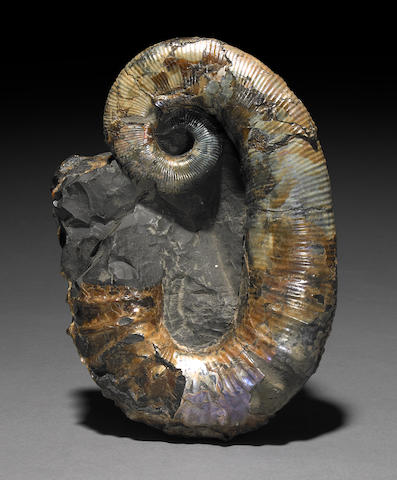 Russian Aberrant ammonite 9 in.