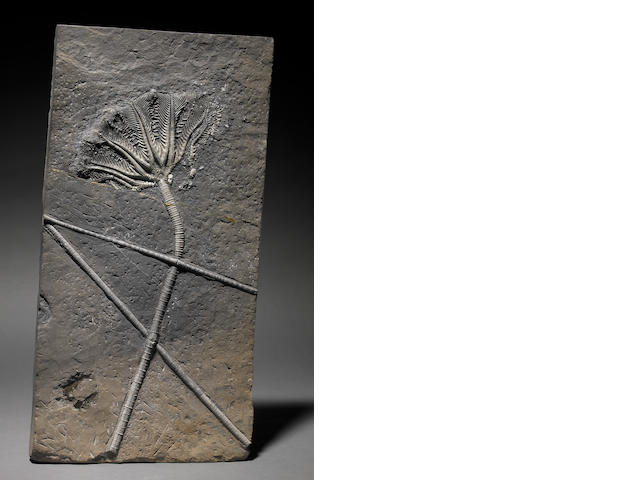 Large Chinese crinoid 20 in.