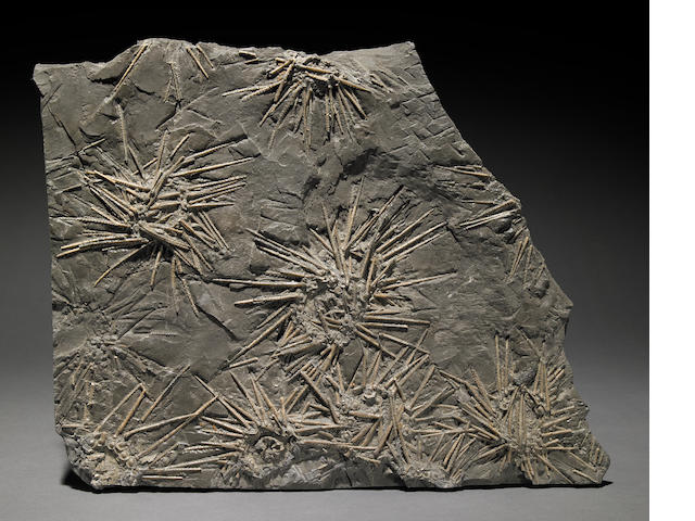 "Fossil sea urchin plaque 15"" X 12"""