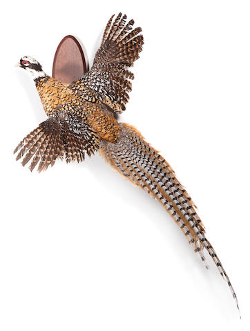 Flushing reeves pheasant