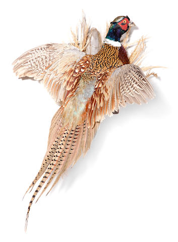 Flushing Green Pheasant