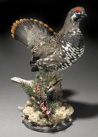 A taxidermy spruce grouse