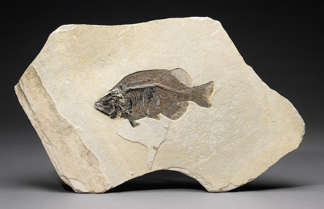 "Fish fossil; Length of fish- 22"", Phareodus Encaustus"