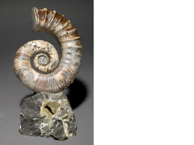 Uncoiled Ammonite, Iridescent, Russia