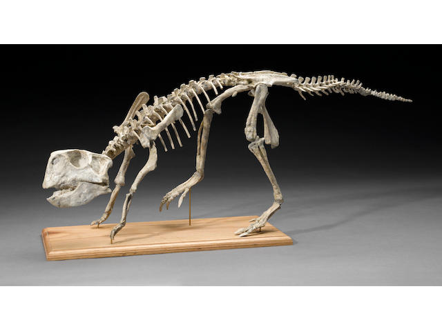 Psittacosaurus Skeleton 31 in.