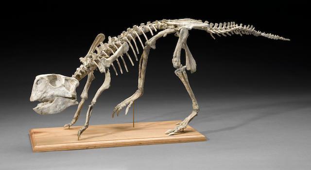 Ceratopsian Dinosaur – Mounted Skeleton