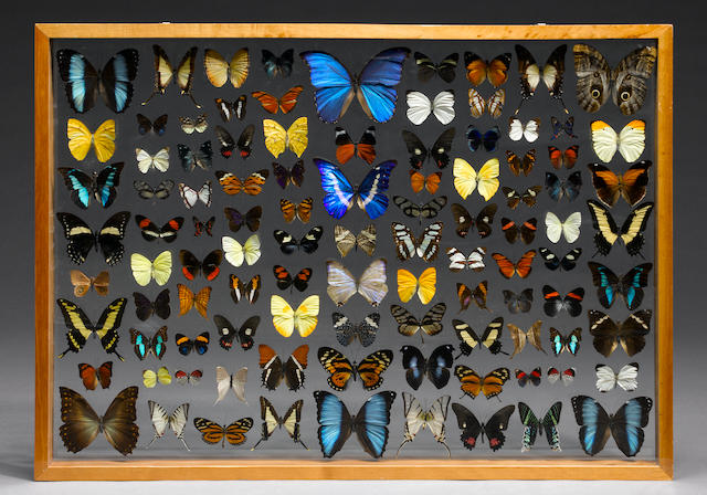 100 butterfly collection