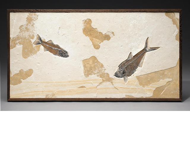 Mioplosus Diplomystus mural