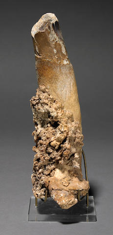 A pathologic walrus tusk