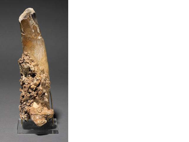 A pathologic walrus tusk