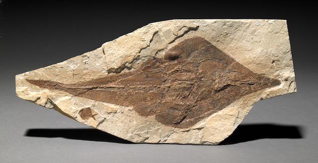 Fossil guitarfish, Lebanon