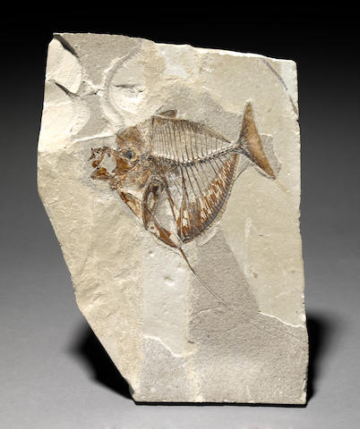 Mene rhombea fossil fish