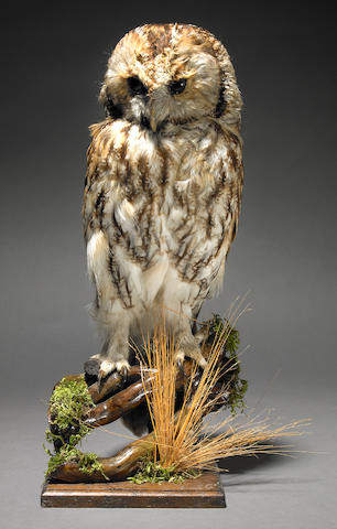 Taxidermic Tawny Owl