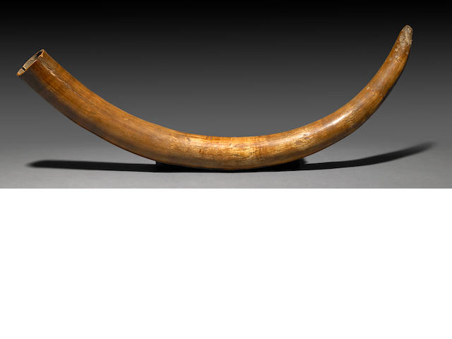 Small Mammoth Tusk
