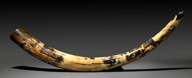 Unusual Mammoth Tusk