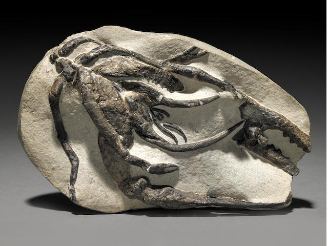 Fossil Lobster (Walsch River)