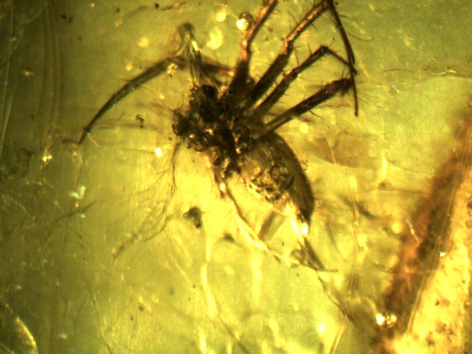 Spike-legged Spider in Amber