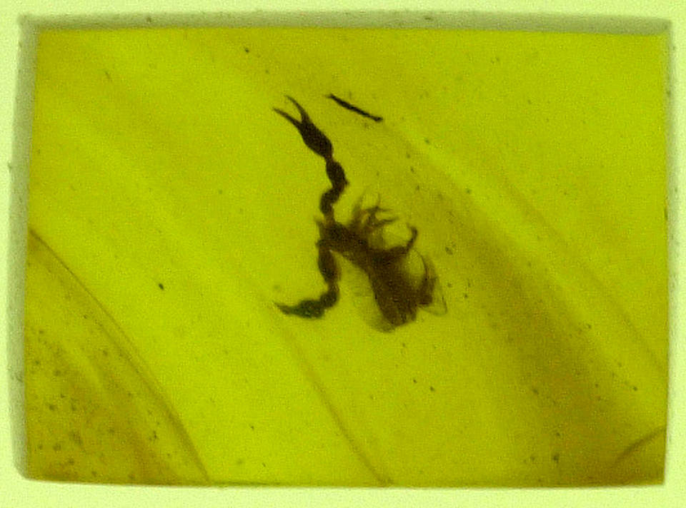 Pseudoscorpion in Dinosaur-age Amber