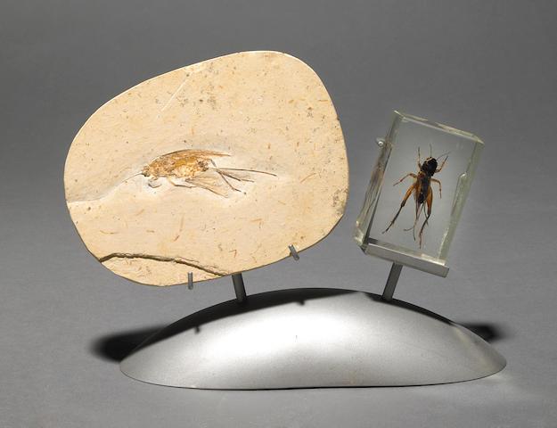 Fossil & modern grasshopper