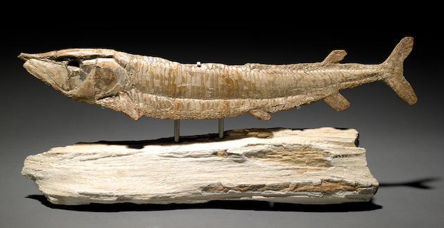 Aspidorhynchidae on petrified wood