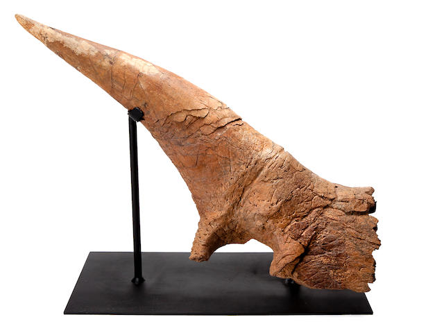 Exceptional Triceratops Brow Horn