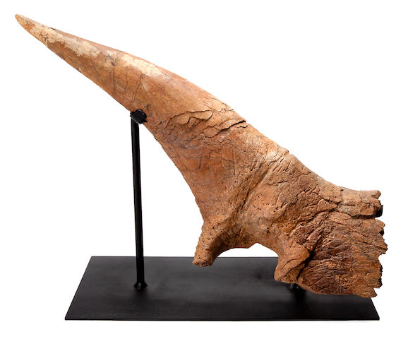 Exceptional, Large Triceratops Brow Horn