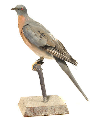 Taxidermic Passenger Pigeon, Circa 1880-1890, pre Lacey Act. Taxidermied by Wallace Homer, Monson, Maine; together with relavent books on the list of birds of Maine, Citizen Bird; Eggs of North American Birds and Pamphlets