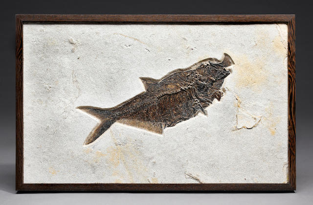 Fossil Fish Aspiration