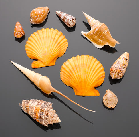 Group of Nine Collector's Seashells