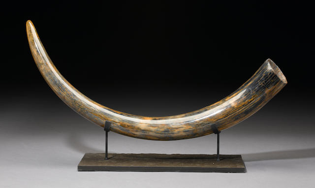 Woolly Mammoth Tusk with Exceptional Coloration