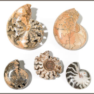 Group of W. Timor Ammonites