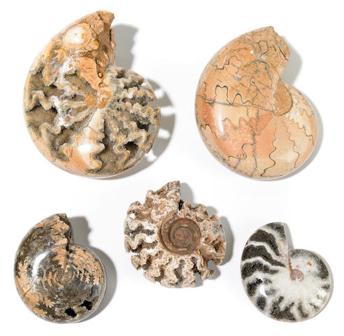 Group of Five Ammonites