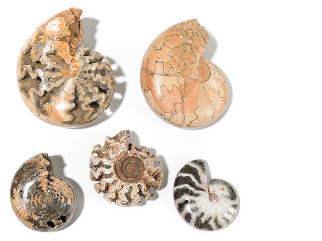 Group of W. Timor Ammonites