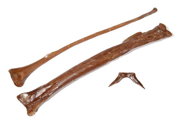 Hell Creek Dromeosaur leg bones