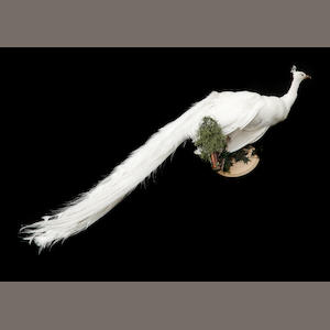 Taxidermic White Peacock