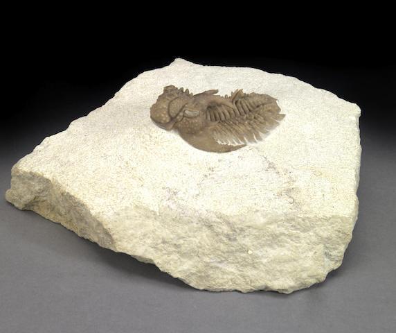 Rare Spiny Trilobite