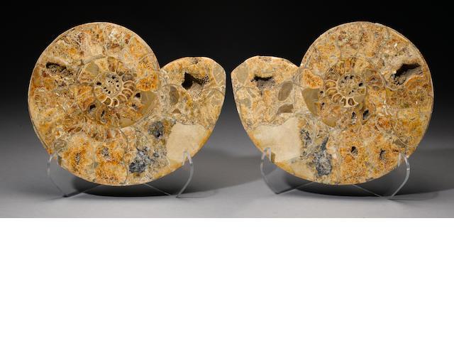 A polished Ammonite split