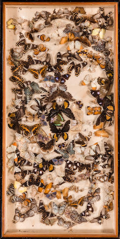 An Assortment of Butterflies h x w: 20 x 40 in.
