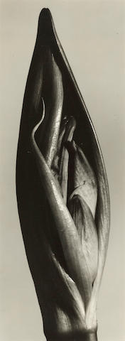 Barbara Morgan (1900-1992); Amaryllis I;