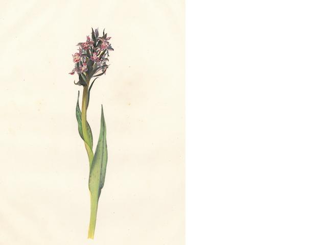 ORCHIDS—WATERCOLORS. 3 studies of orchids, pencil, watercolor and gum arabic, [France, early 19th century],