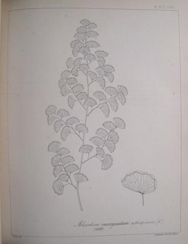 BEDDOME, RICHARD HENRY. 1830-1911. 1.  The Ferns of British India. Madras: Gantz Brothers, 1866.