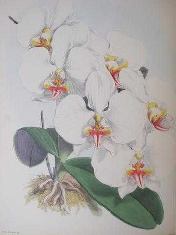 WARNER, ROBERT. C.1815-1896. The Orchid Album. London: B.S. Williams, 1882-1884.<BR />