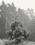Ansel Adams (American, 1902-1984); Pine Forest Mist, Timber Cove; Redwoods, Richardson Grove; (2)