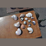 A collection of fourteen seashells
