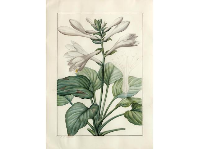 Pierre Joseph Redouté  (French, 1759-1840) Liliaceae: Hemerocallis japonica 19 x 13 1/2in (48.3 x 34.3cm)
