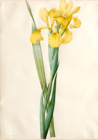 Pierre Joseph Redouté  (French, 1759-1840) Liliaceae: Iris monnieri 18 3/4 x 13 1/4in (47.6 x 33.6cm)
