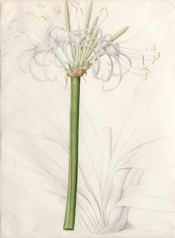 Pierre Joseph Redouté  (French, 1759-1840) Liliaceae: Pancratium declinatum 19 x 14in (48.2 x 35.6cm)
