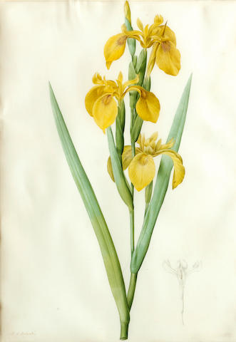 Pierre Joseph Redouté  (French, 1759-1840) Liliaceae: Iris pseudocorus 18 3/4 x 13 1/4in (47.6 x 33.6cm)
